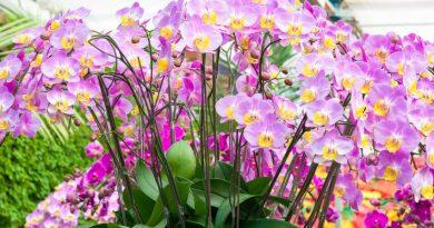 Orchidées rose